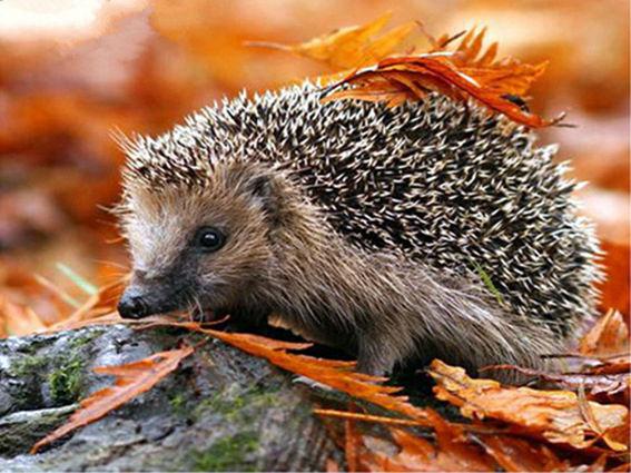 Cute Hedgehog In Autumn