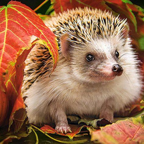 Cute Hedgehog Hiding In The Leaves