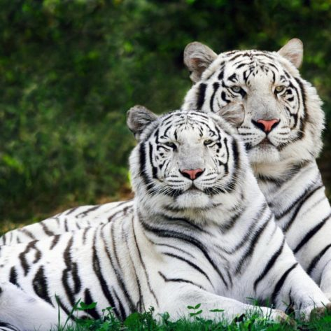 Two Tigers Are Sitting On The Lawn